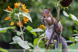 Sunflowers & Squirrels