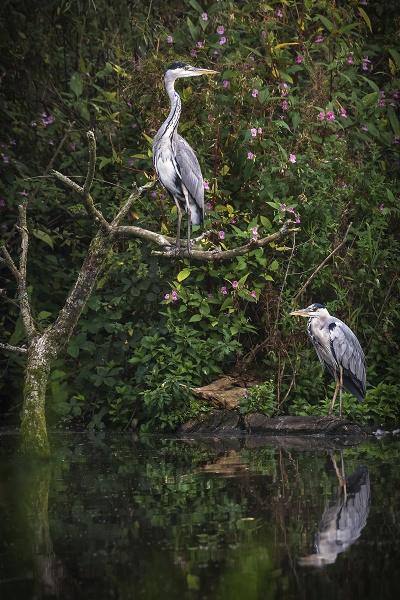 A Pair of Herons by BydoR9