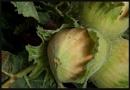 Nearly ripe by oldblokeh