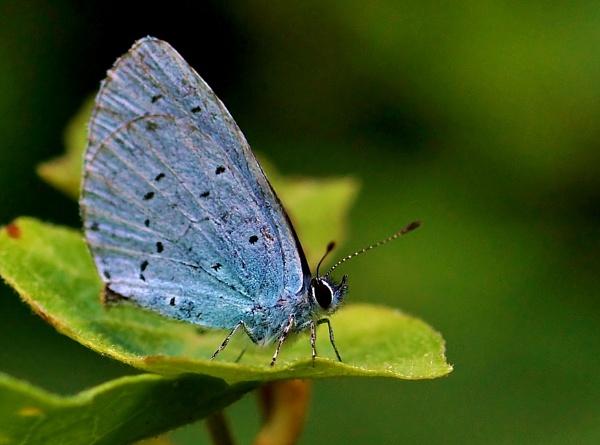 Holly Blue by georgiepoolie