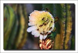 night flowering cactus