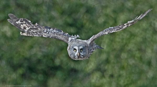 """Great Grey Owl \""""Strix Nebulosa\"""" by brian17302"""