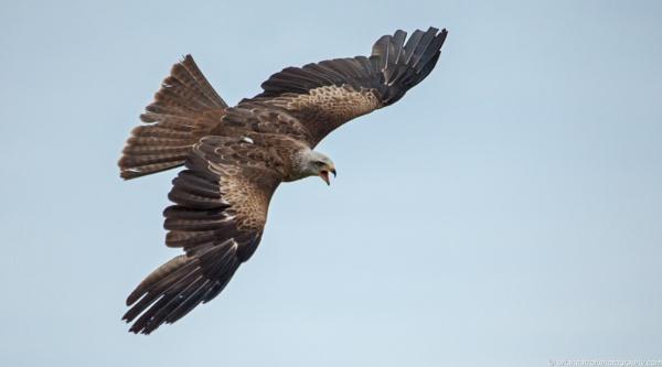 Kite in Flight by brian17302