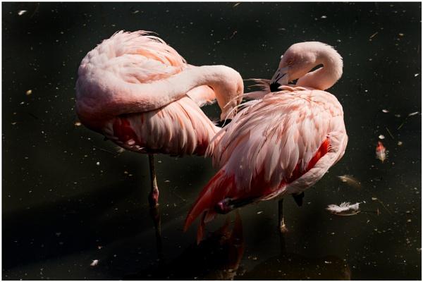 Flamingos by capto