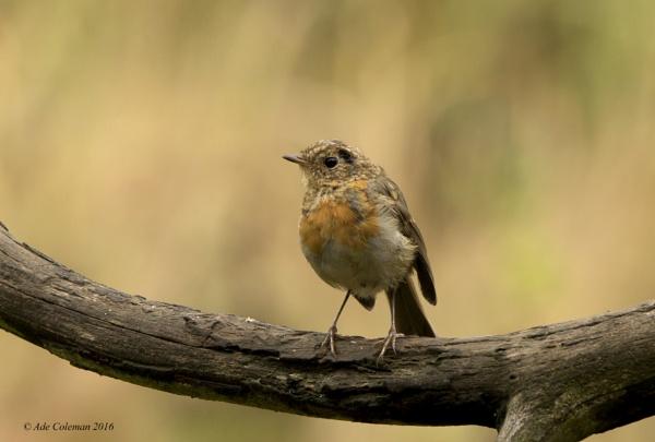 Juvenile Robin (2) 2106 by ade123
