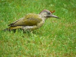 Juvenile female green woodpecker