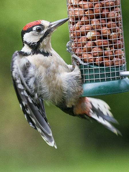 Great Spotted Woodpecker by danbrann