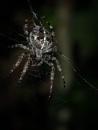 Black Cross Spider
