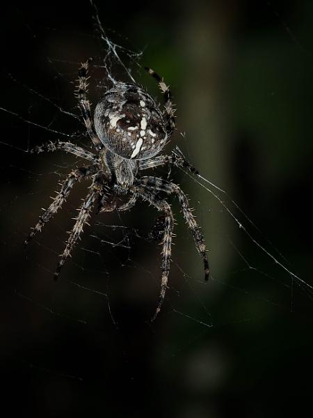 Black Cross Spider by DaveRyder