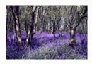 Blue Bell woods by Dennie