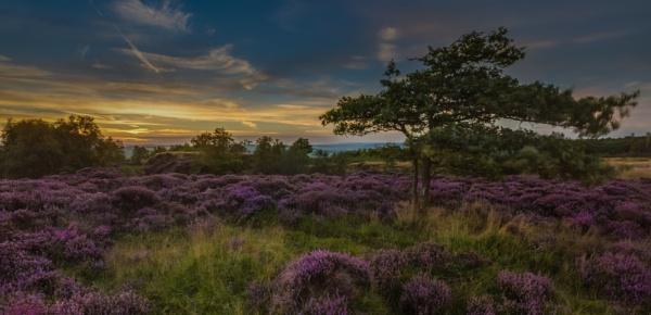 Stanton Moor Heather by Legend147