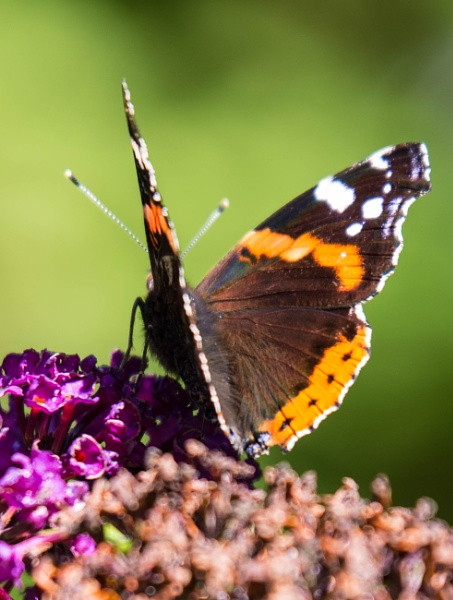 Butterfly at Belsay by wrighty76