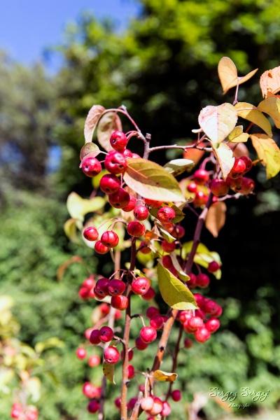 Little red apples by sergeysergaj