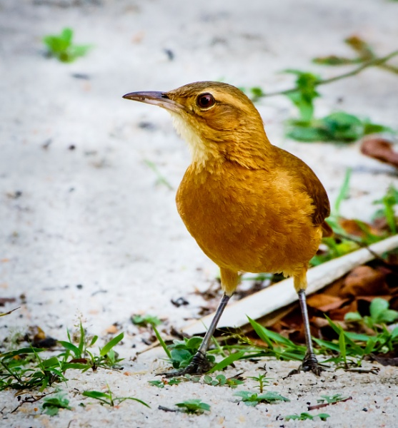 Rufous Bellied Thrush Over White Sand by Kostas_74