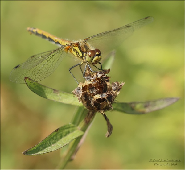 Common Darter by canoncarol