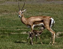 Gazelle with seconds old Newborn.