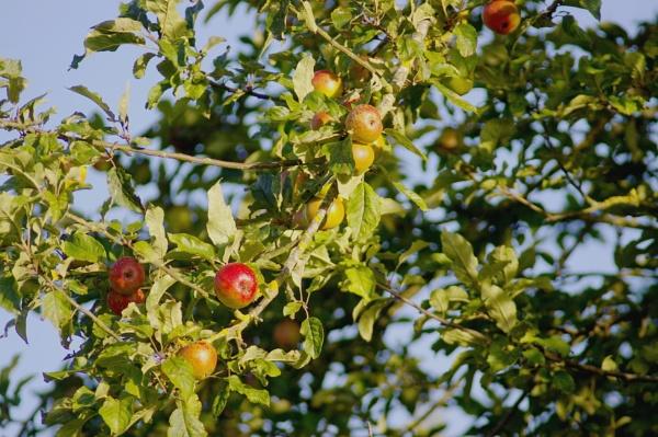 I\'ve got a lovely bunch of.......apples by dmbrkmn