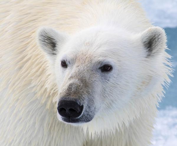 Polar Bear by katep1