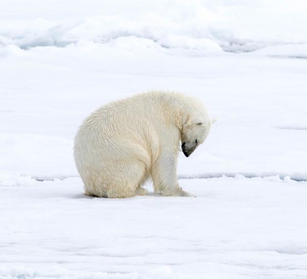 Polar Bear 2 by katep1