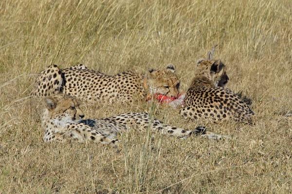Cheetahs by jinstone
