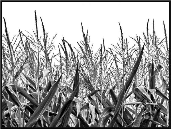 Children of the Corn by Joline