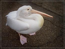 London pelican