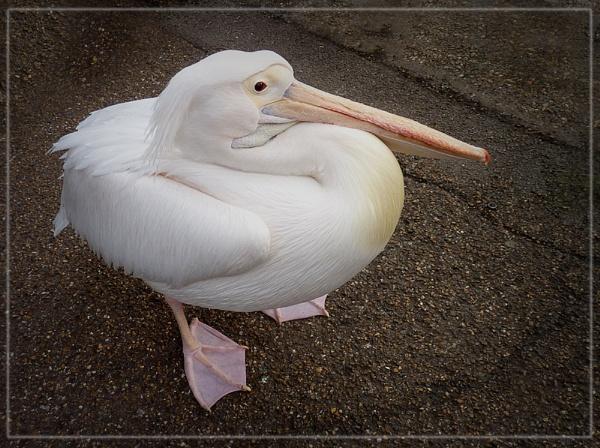 London pelican by CarolG