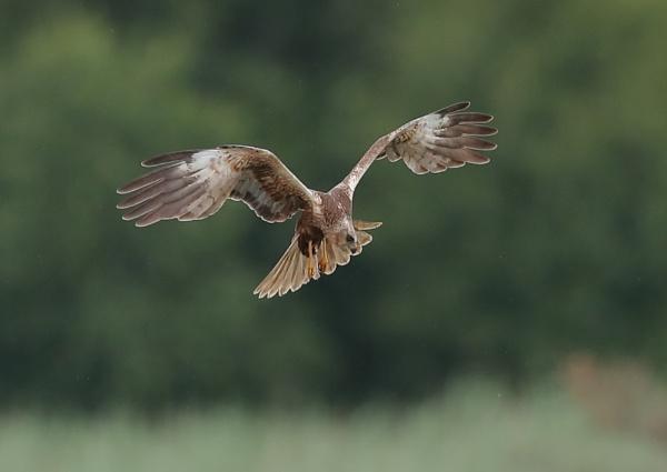 Hunting Marsh Harrier by NeilSchofield