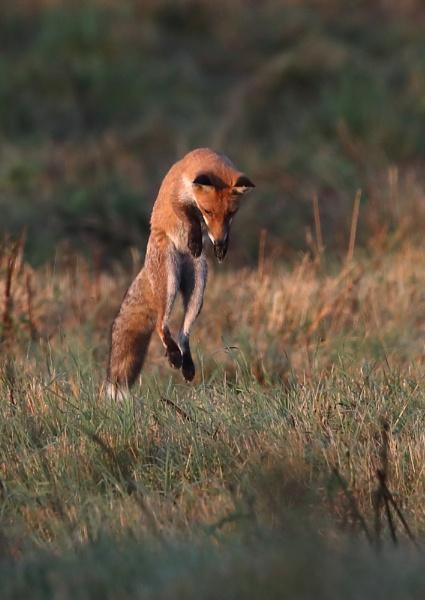Fox Hunting by NeilSchofield