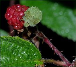 Green Shield Bug(s) in the Rain.