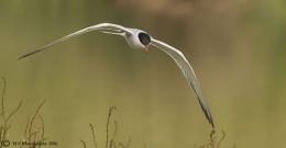 Flight of the Tern