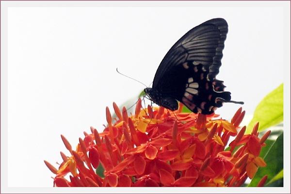 Swallow Tail by prabhusinha