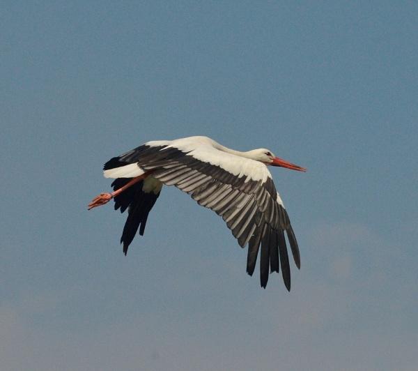Stork flying by peterthowe