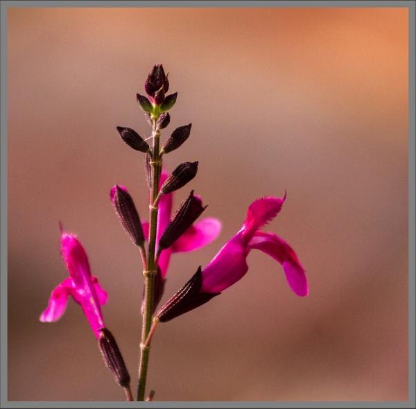 Salvia by rambler