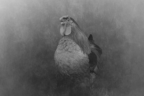 Cockerel by EddieDaisy
