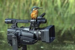 Kingfisher filming
