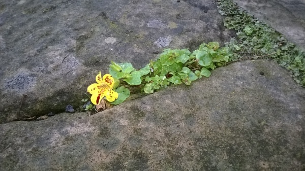 A seed that has come from my garden has grown in the nick of the pavement by YoungGrandad