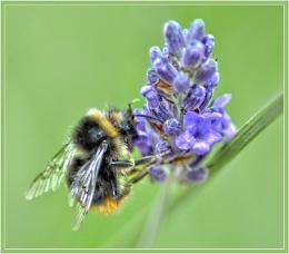 Lavender's blue..............