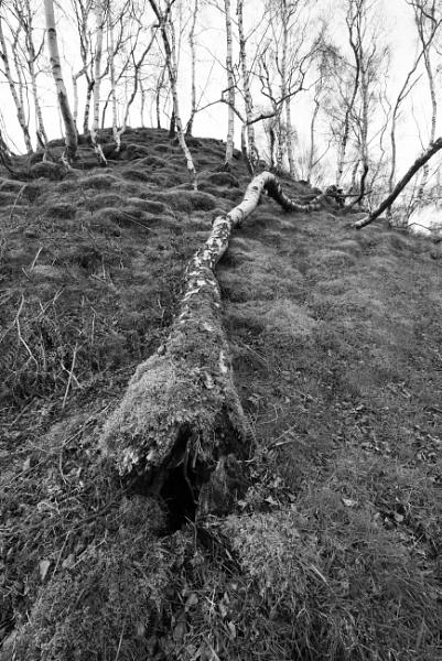 Fallen Birch by jasonrwl