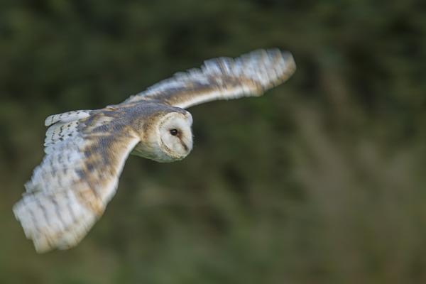 Barn Owl flight - slower shutter by philhomer