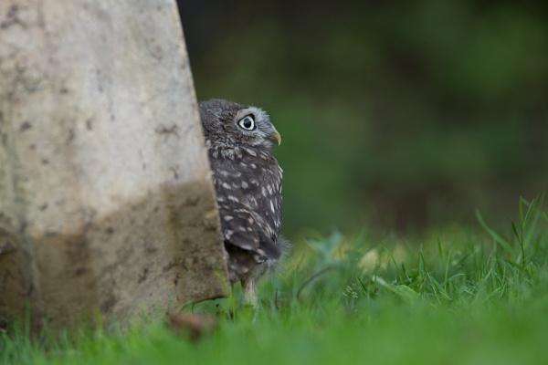 LIttle Owl by philhomer