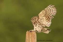 Little Owl Landing