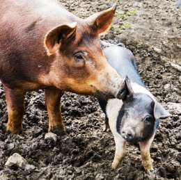 One little piggy.....gets an earful