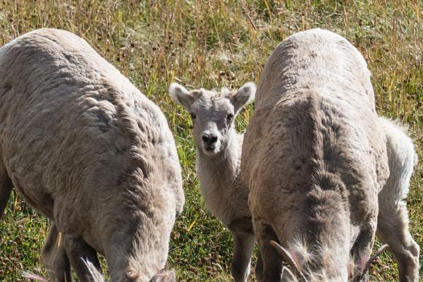 Bighorn Lamb by StrayCat