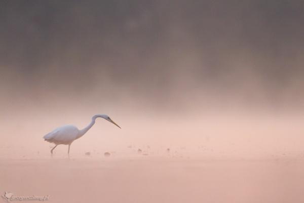 Great egret by zimen