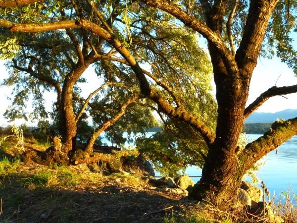 Tree  of Tiny olives by tonyguitar