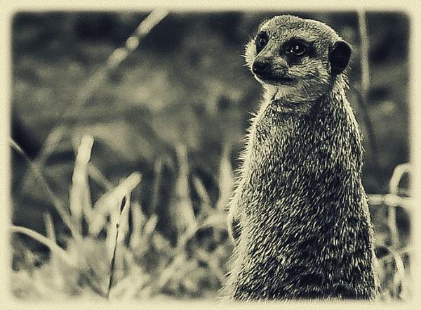 Meerkat by Lord_Raglan