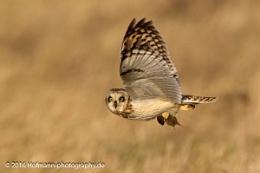 Was shopping - Short-eared owl