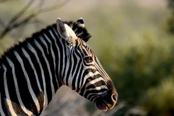 Zebra by Coen