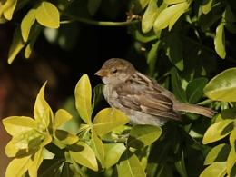 Sleepy House Sparrow.